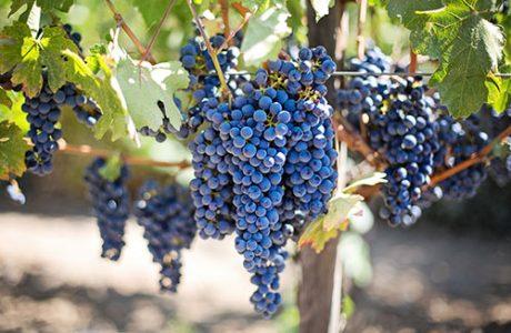 purple-grapes-small